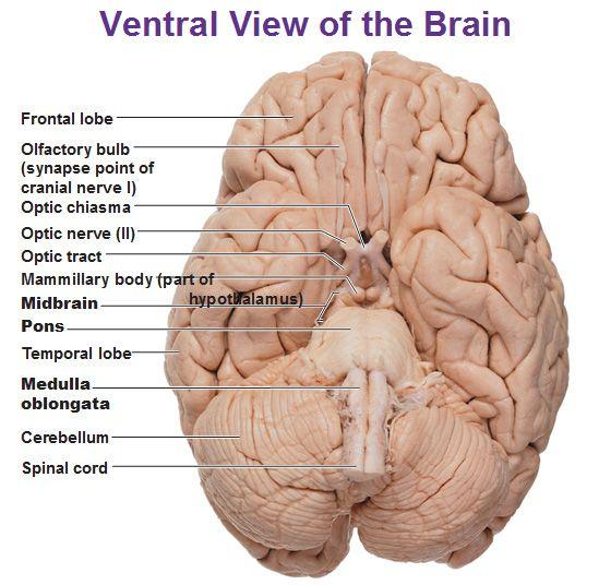 ventral view of the brain cerebellum medulla pons mid brain | Anatomy | Pinterest | Brain ...