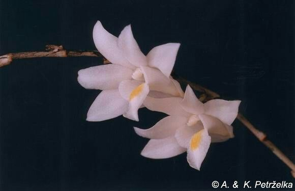 Dendrobium crumenatum