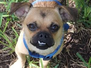 Adopt Sparky On Pug Rescue Pugs Old Pug