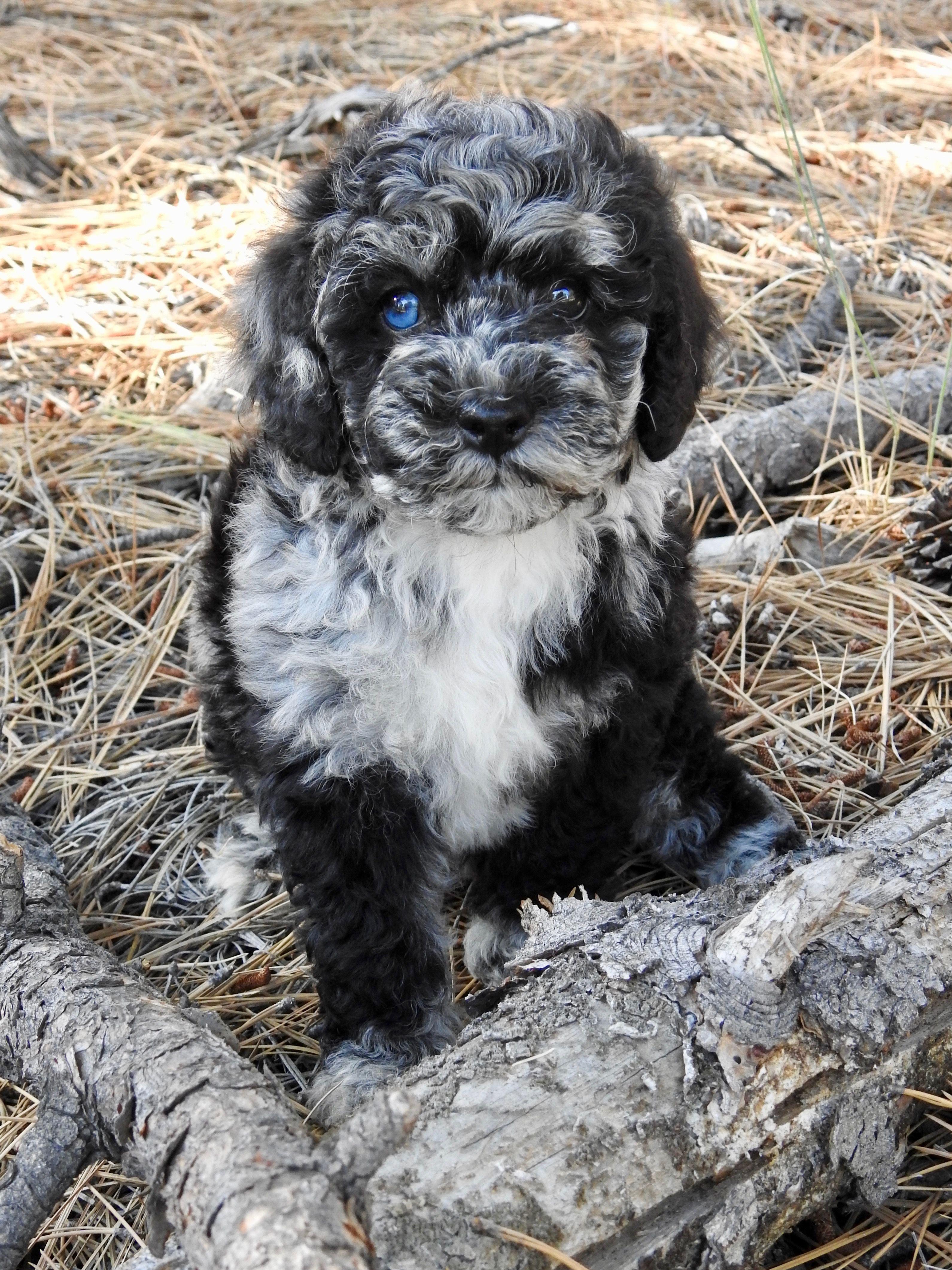 Blue eyed black merle Australian Labradoodle puppy