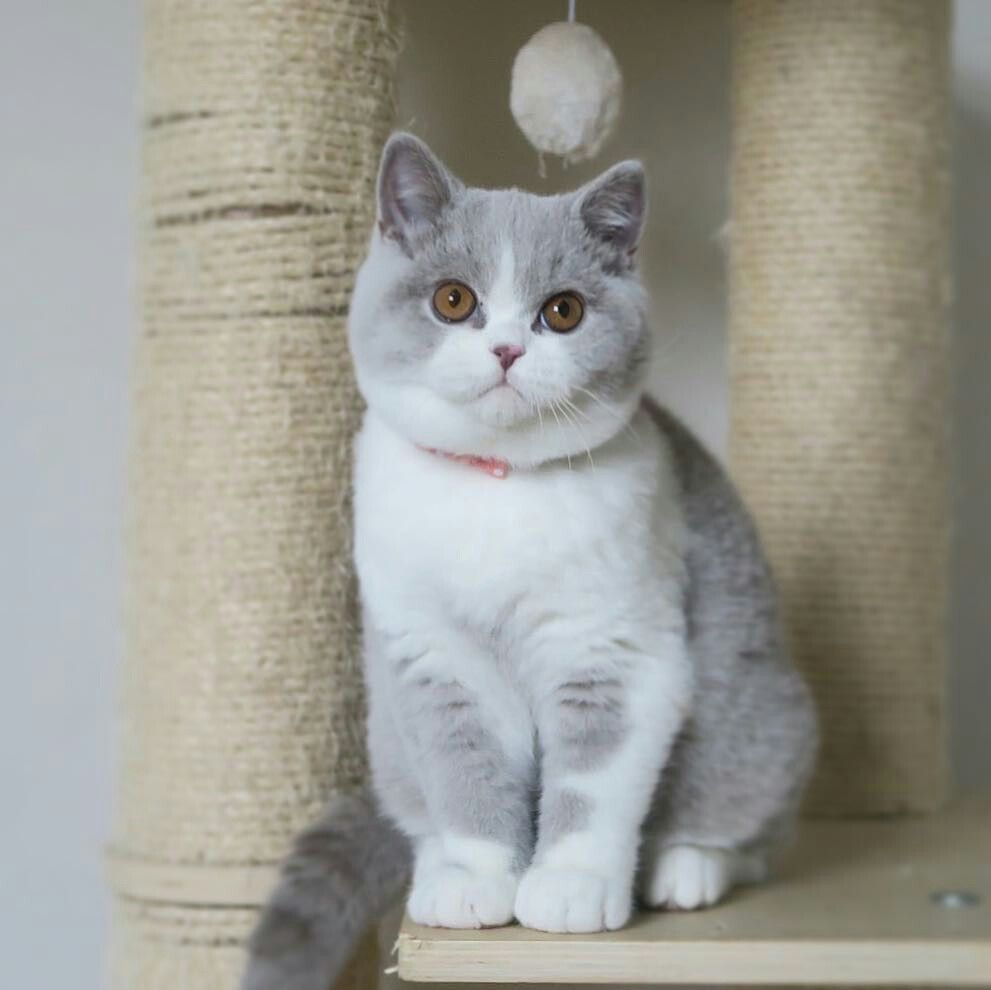 Perfect Sweetheart Right There Munchkin Cat British Shorthair Cats Kitten Breeds