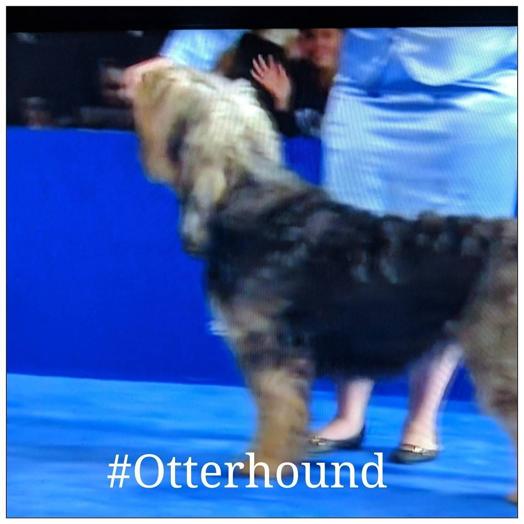Cammy A Great Otterhound In The Ny Westminster Dog Show So Proud Of Our Hounds Westminster Dog Show Otterhound Dog Gifts