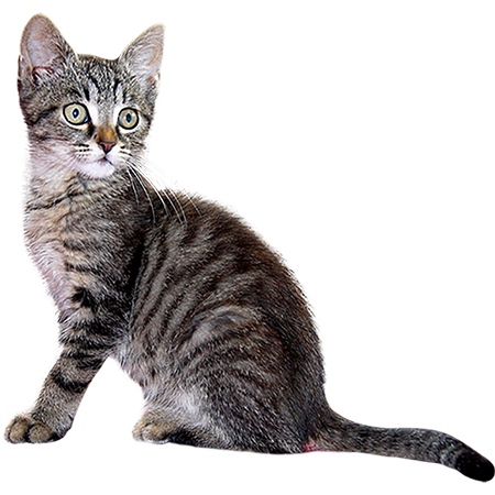 A Cutout And Adorable Baby Kitten Looking Around The World For Some Personal Human Property He Can Destroy Grey Kitten Animals Images Cat Pose