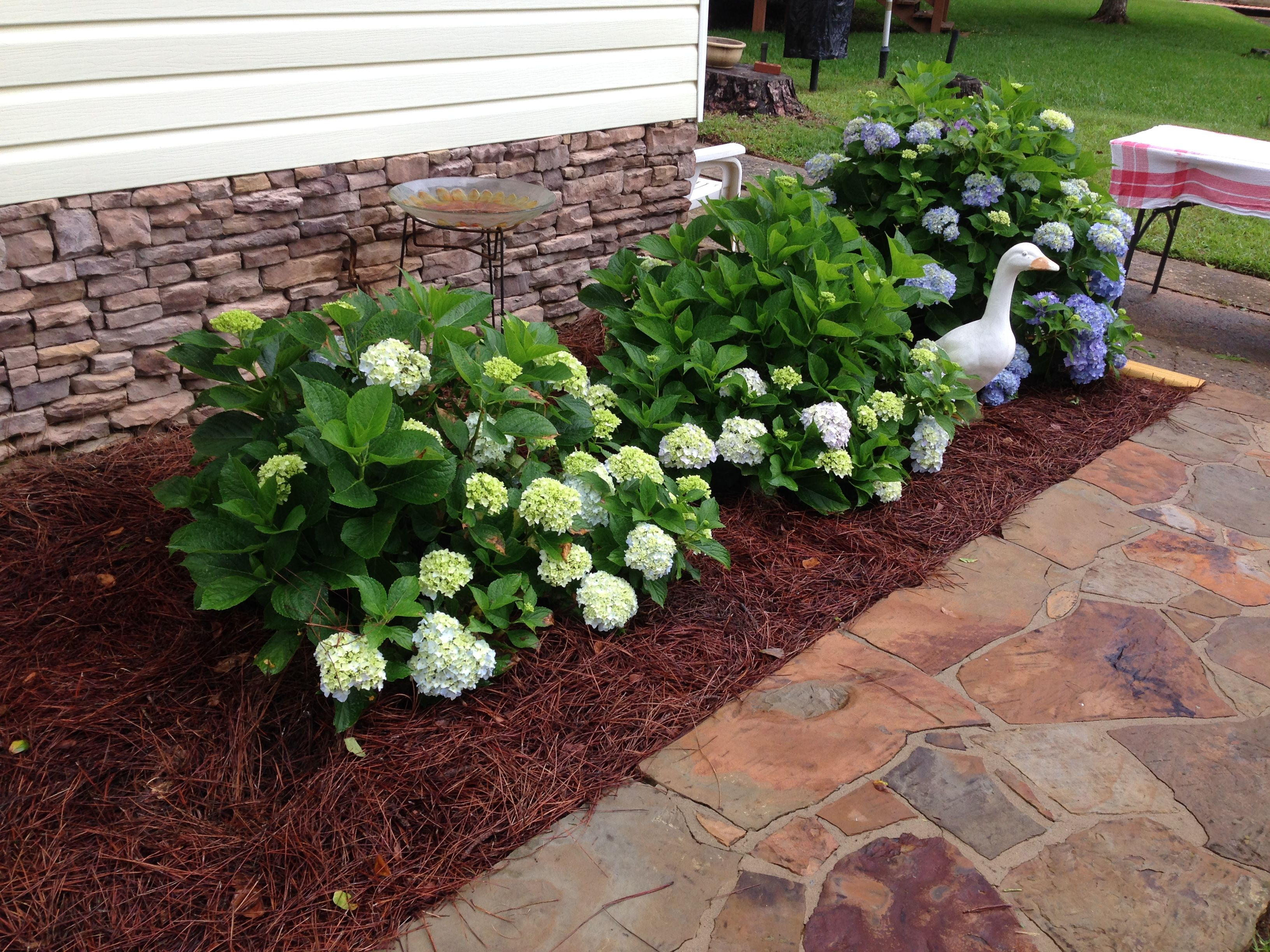 Mini Penny Hydrangeas On Left And Endless Summer On Right Front Yard Hydrangea Plants