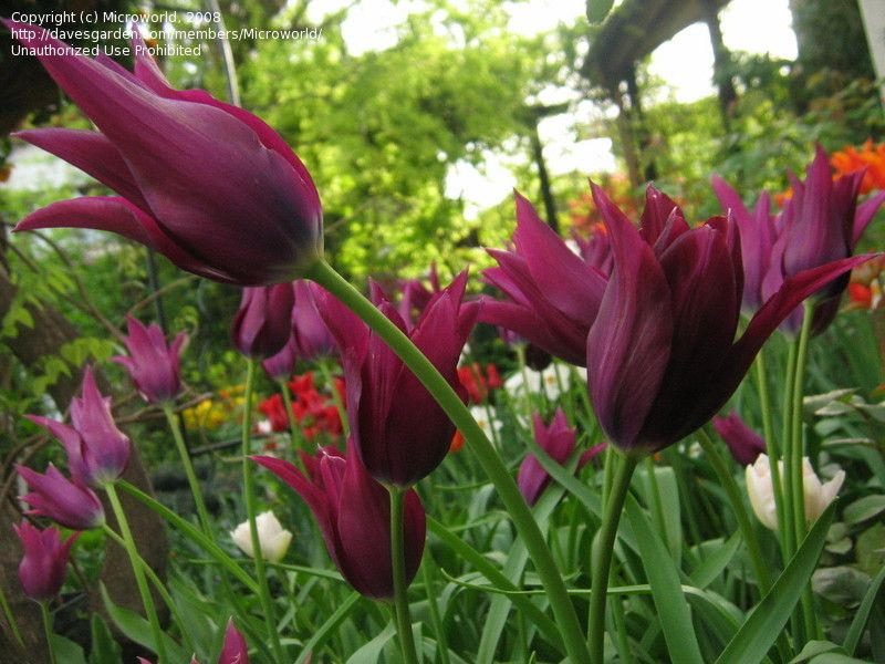 Plantfiles Picture 8 Of Lily Flowered Tulip Burgundy Tulipa Lily Flower Tulips Flowers