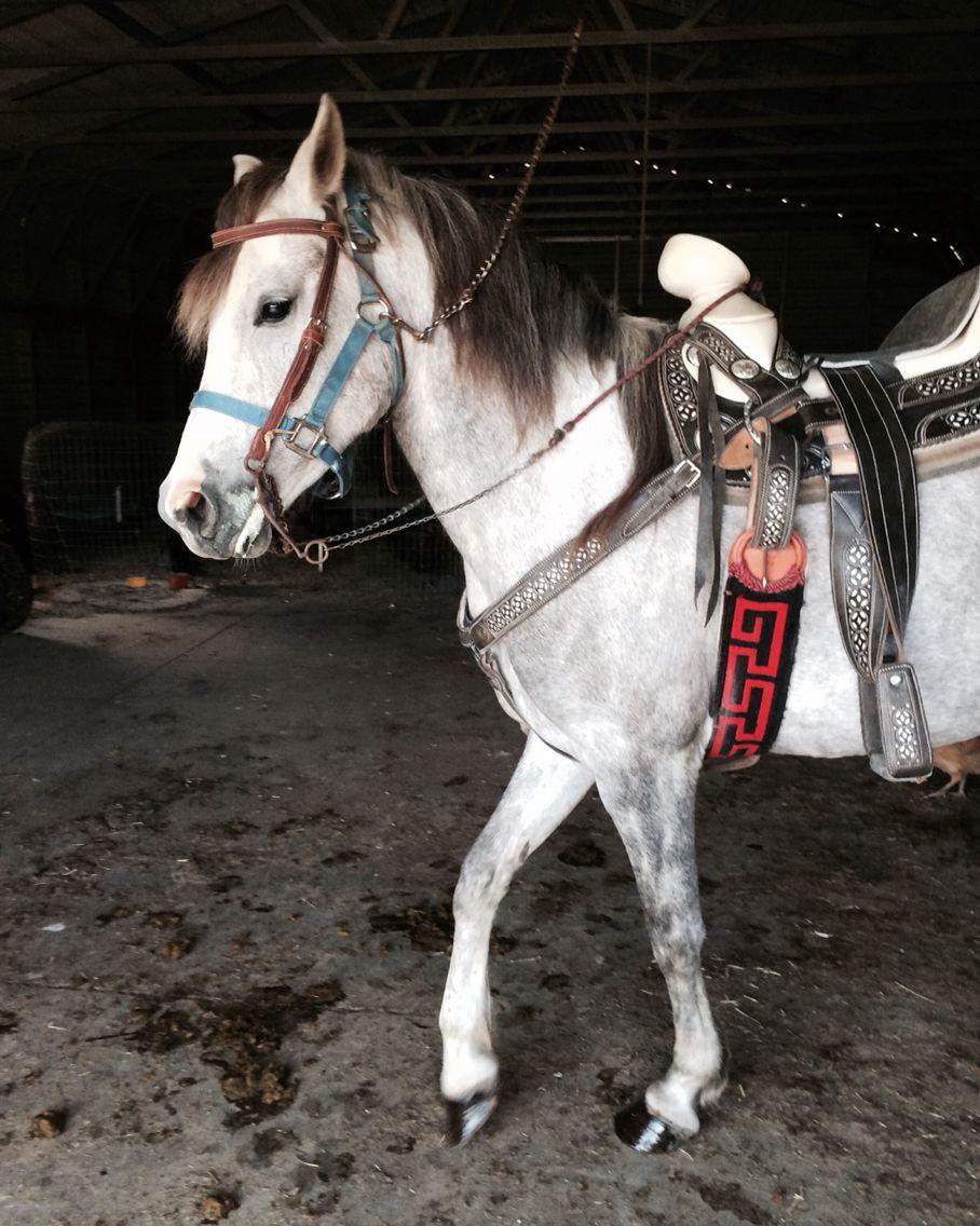 Pretty gray female horse Scarlet Diana