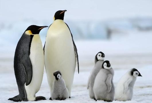 Pregon Agropecuario El Pingüino Emperador Al Borde Del Colapso Reino Animal Animales En Peligro De Extincion En Peligro De Extincion Pinguino Emperador