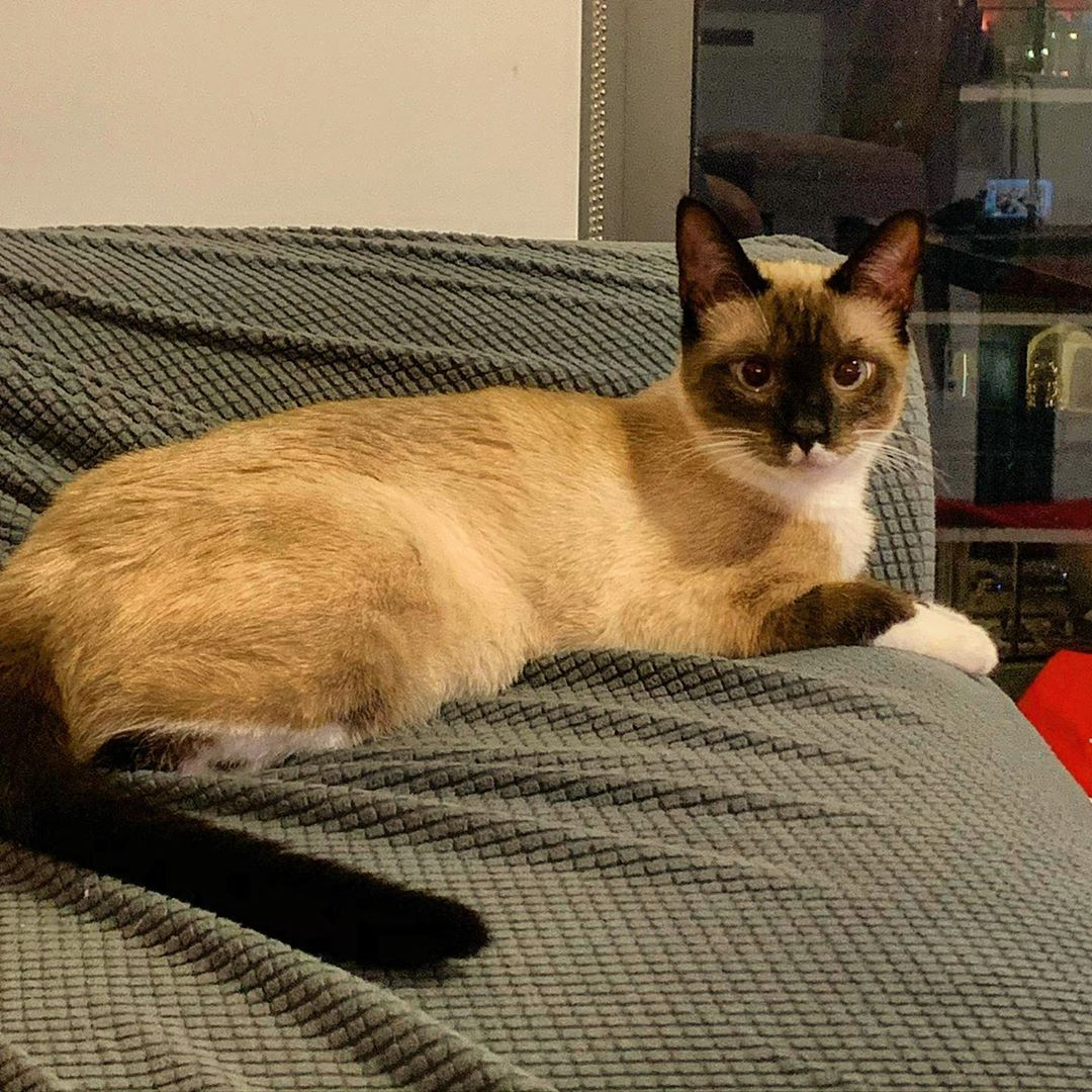 Watching Me Watch Tv School Lawschool Sunset Florida Travel Miamibeach Lawschool Tropical Paradise Travelph In 2020 Cat Rescue Siamese Cats Persian Cat