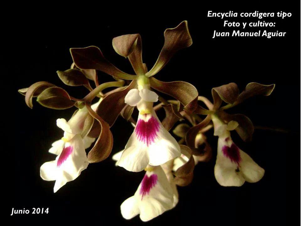 Encyclia cordigera. Junio 2014