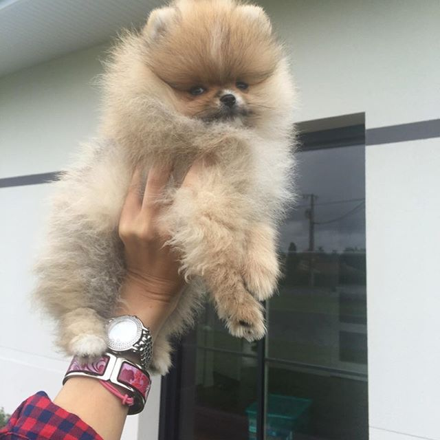 Pomeranian Puppies For Sale Get Pics And Price On Pomeranian Puppy For Sale Teacup Chihuahua Puppies Pomeranian Puppy