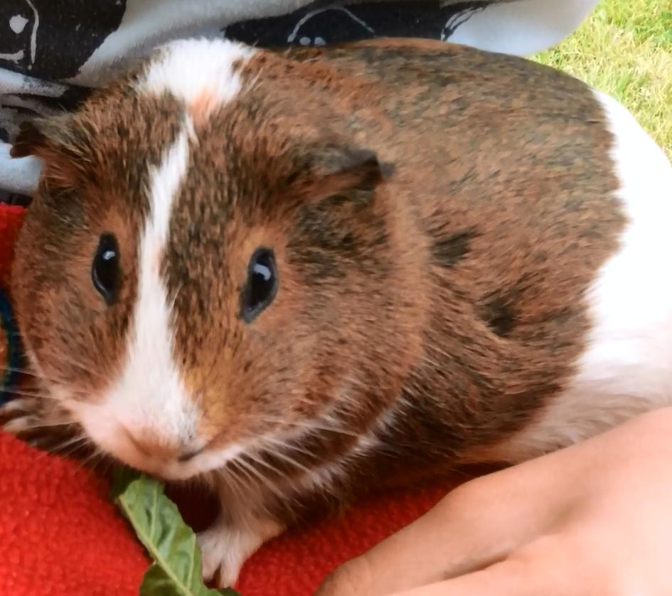 Nibbles, my pet guinea pig!