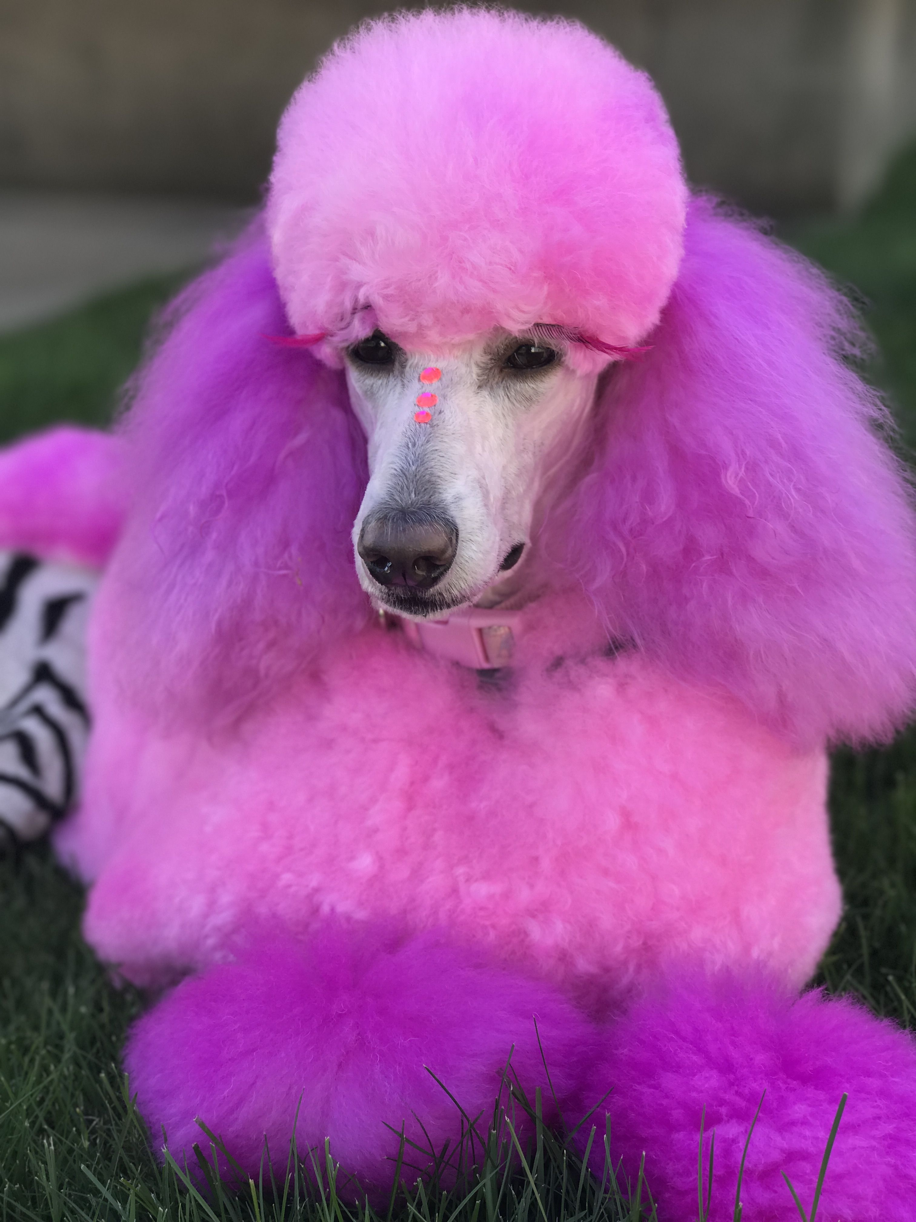 Pin by Stephanie Denapoli on Grooming   Pinterest   Poodle, Pink ...