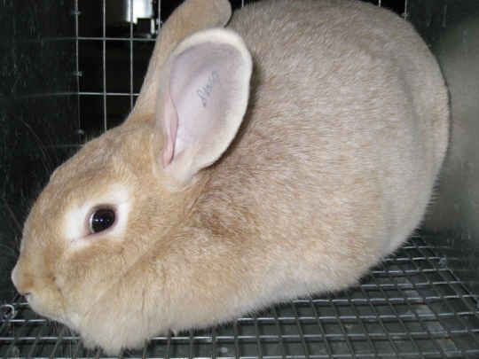 Meat Rabbits: Raise these breeds for Home and Backyard ...