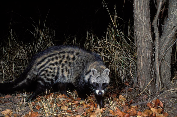 African Civet African Mammal Guide in 2020 African