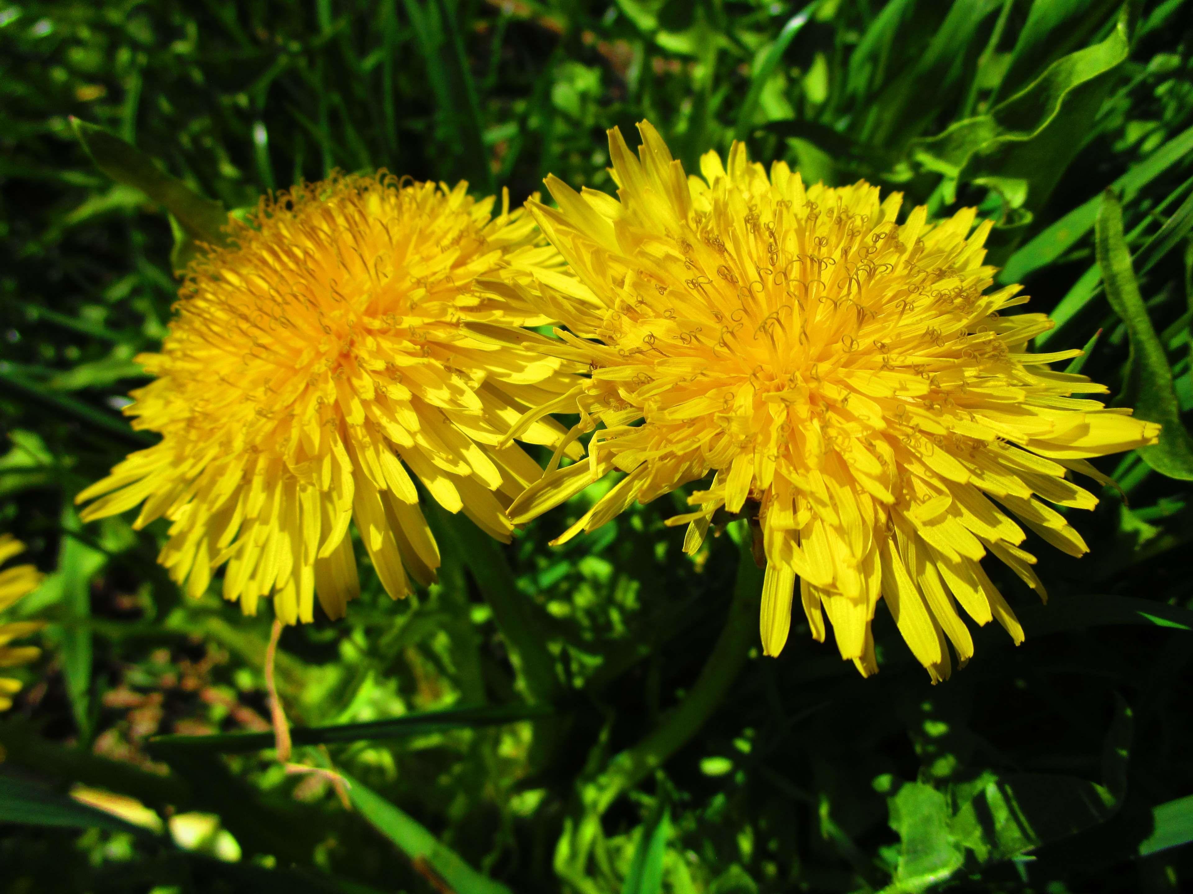 Bloom Blossom Close Dadolion Dandelion Flower Garden Green