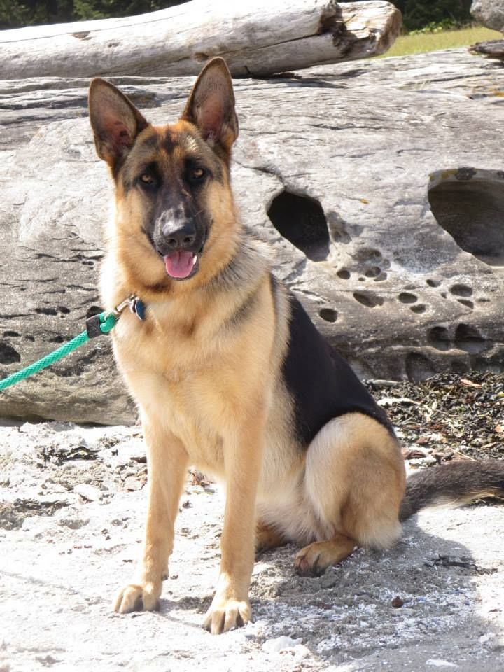 Gsd Satori German Shepherd Dogs Shepherd Dog German Shepherd