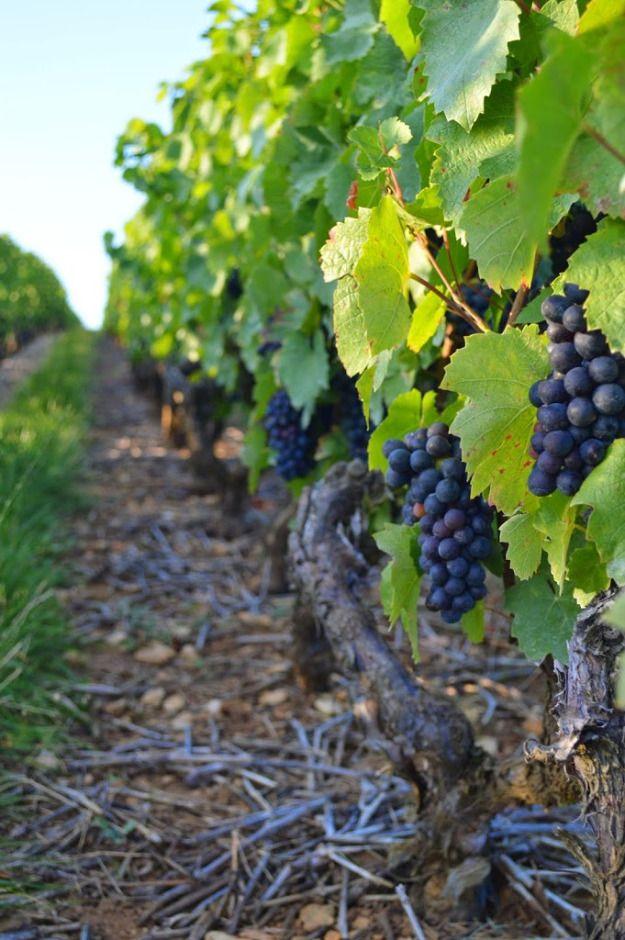 Beaujolais_grapes_France_vineyard Rows of gorgeous dark grapes. www.chicagotofrance.com