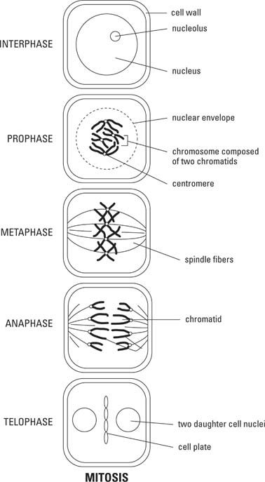 Mitosis in plant cell life science yahoo image search results mitosis in plant cell life science yahoo image search results ccuart Image collections