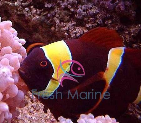 Yellow Stripe Maroon Clown Fish Premnas Biaculeatus Maroon Anemonefish Spinecheek Anemonefish Maroon Gold St Clown Fish Marine Aquarium Ocean Creatures