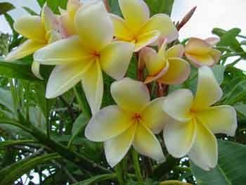 Aztec Gold Plumeria Frangipani Plant Sale