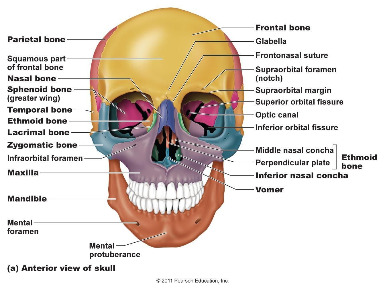 Study Online Flashcards And Notes For Bones Axial Skeleton