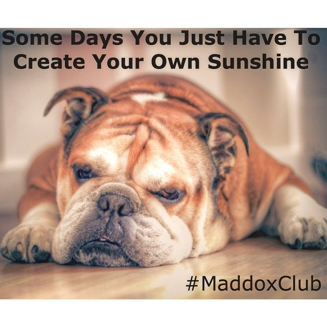 Maddoxclub S Photo On Instagram Lazy Dog Breeds Bulldog Breeds