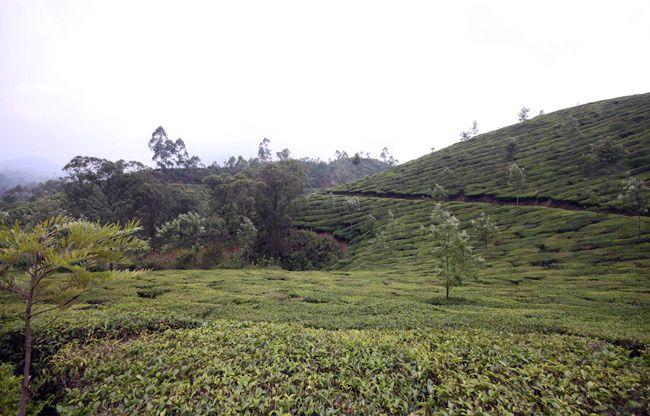 munnar tea plantation 5 Exploring the Tea Plantations of Munnar, India