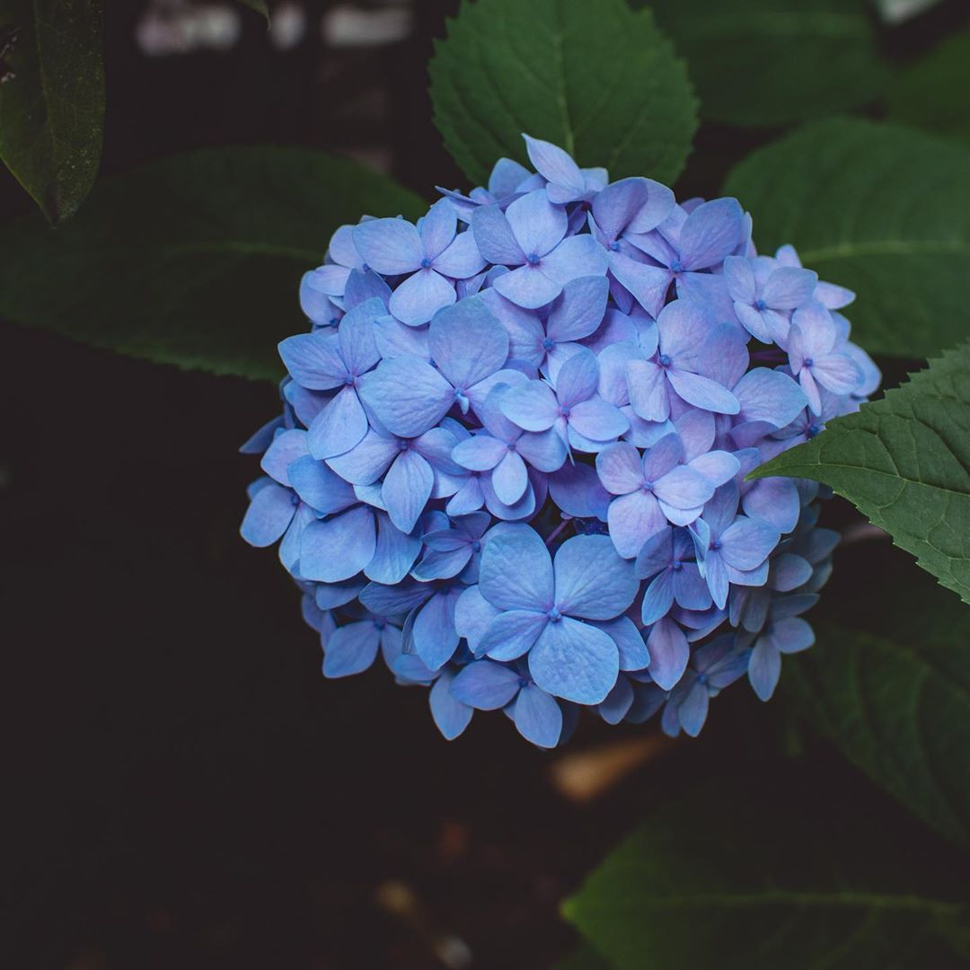 Hydrangeas...... My favourite flower, really love them in white but the blue is really stunning, couldn't resist ! . . .