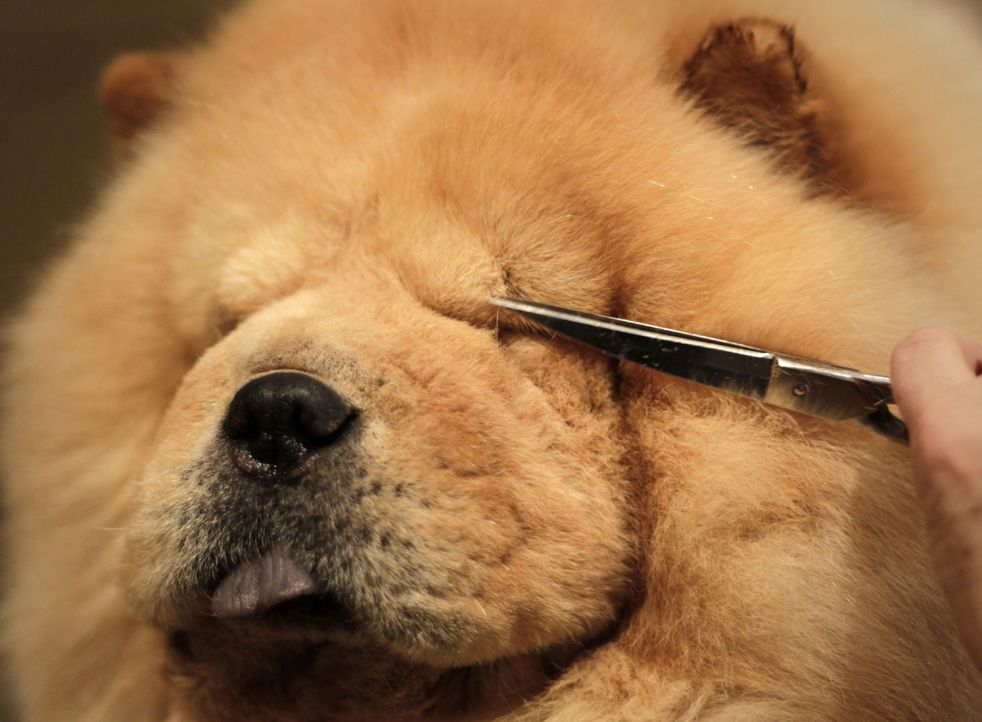 Chow Chow Facial Hair Clipping Westminster Dog Show Dog Show Dogs