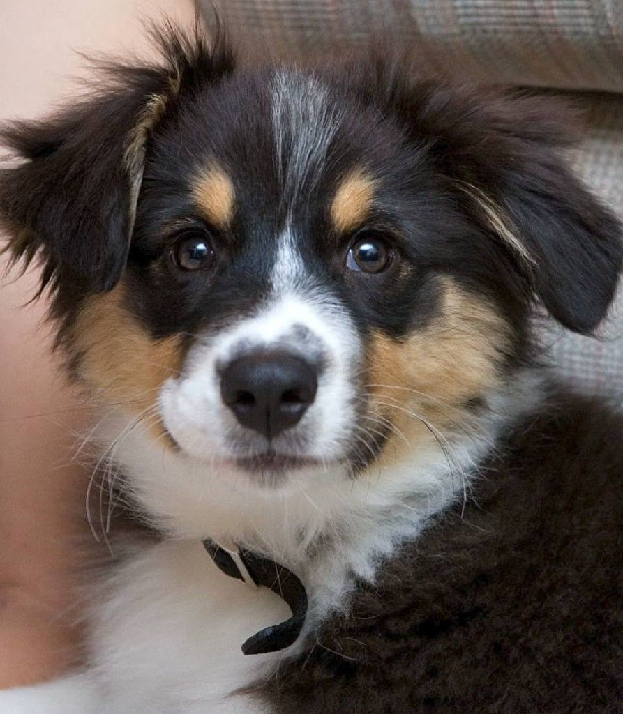 australian shepherd puppy wallpapers Puppy Fever