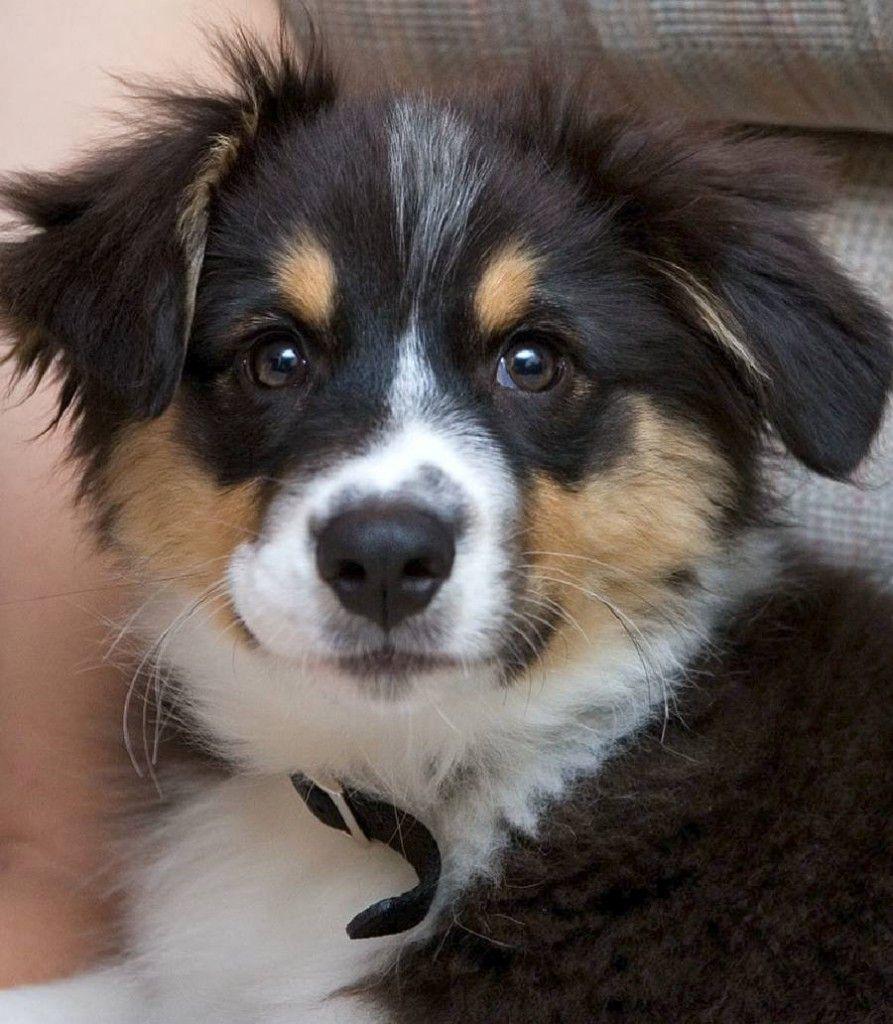 Australian Shepherd Puppy Wallpapers
