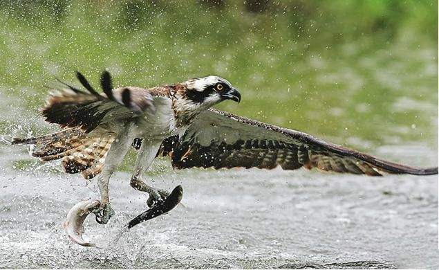 Birds Of Prey Hunters Hawk Grabs 2 Fish At Once Animals Birds Birds Of Prey
