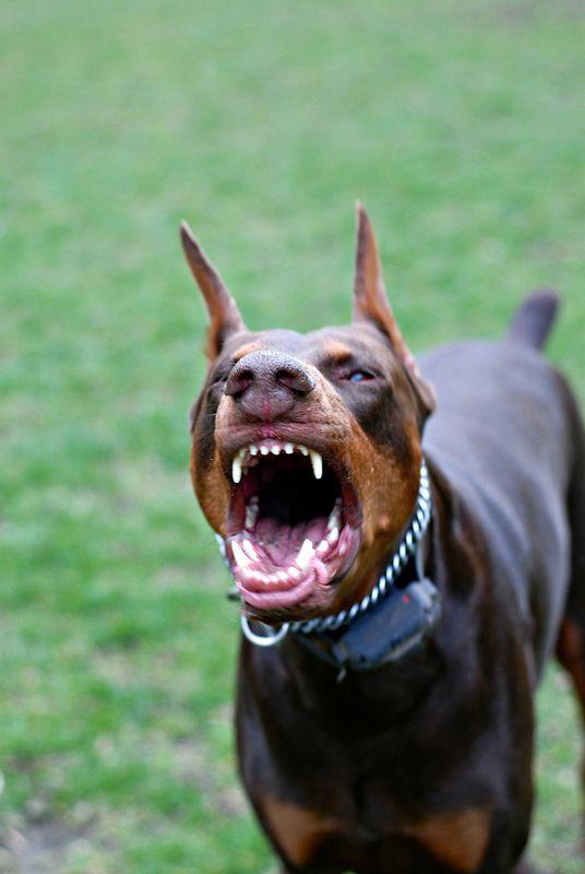 Angry Pup Doberman Pinscher Doberman Doberman Dogs