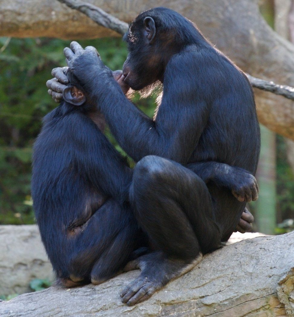 Bonobo Animals Animals Kissing Animals Beautiful