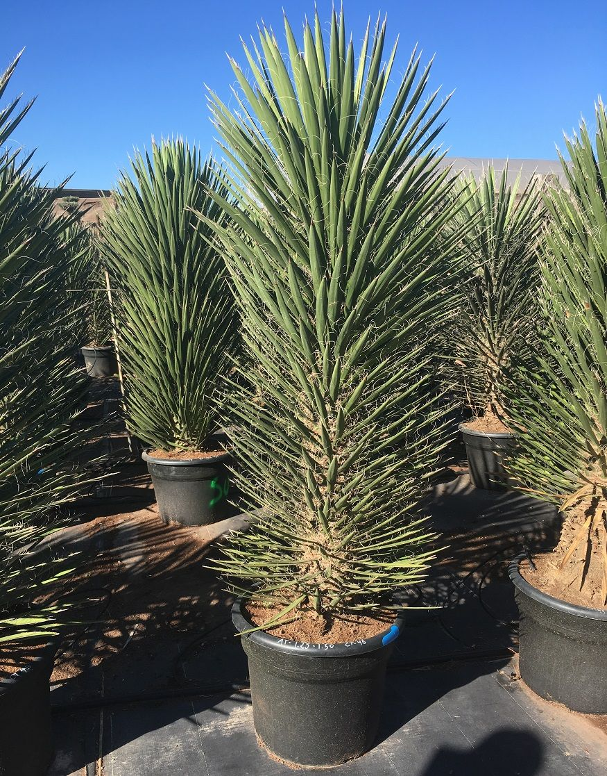 The Yucca Filifera Australis Is A Beautiful Tall Relatively Fast Growing Sculptural Yucca Perfect For Providing A Palm Trees For Sale Garden Design Yucca