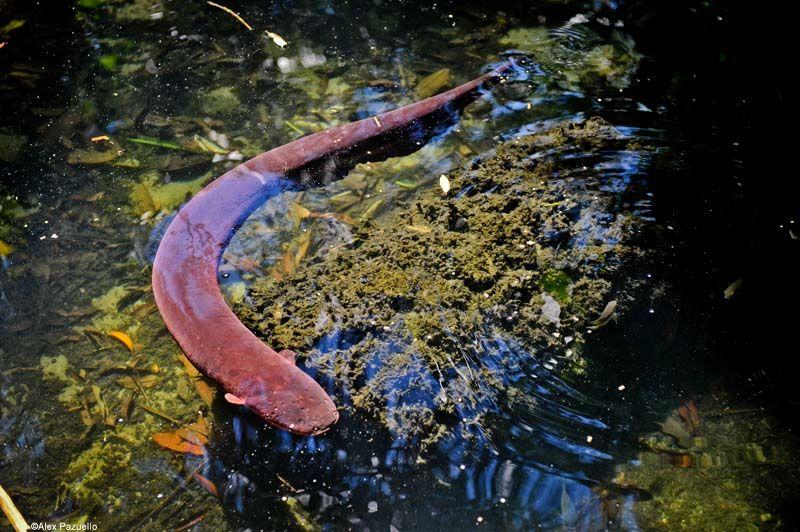 Poraquê, peixe elétrico do Amazonas.