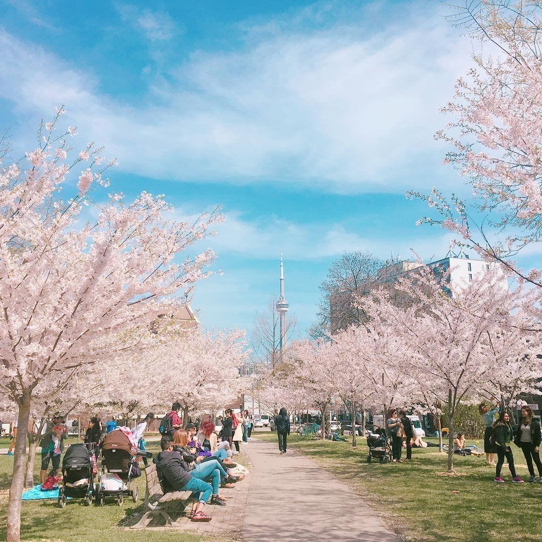 Tourism Toronto Seetorontonow Instagram Photos And Videos Seetorontonow Toronto S Cherry Blossom Trees In Full Bloom Unofficially Mark The Start Of Spri