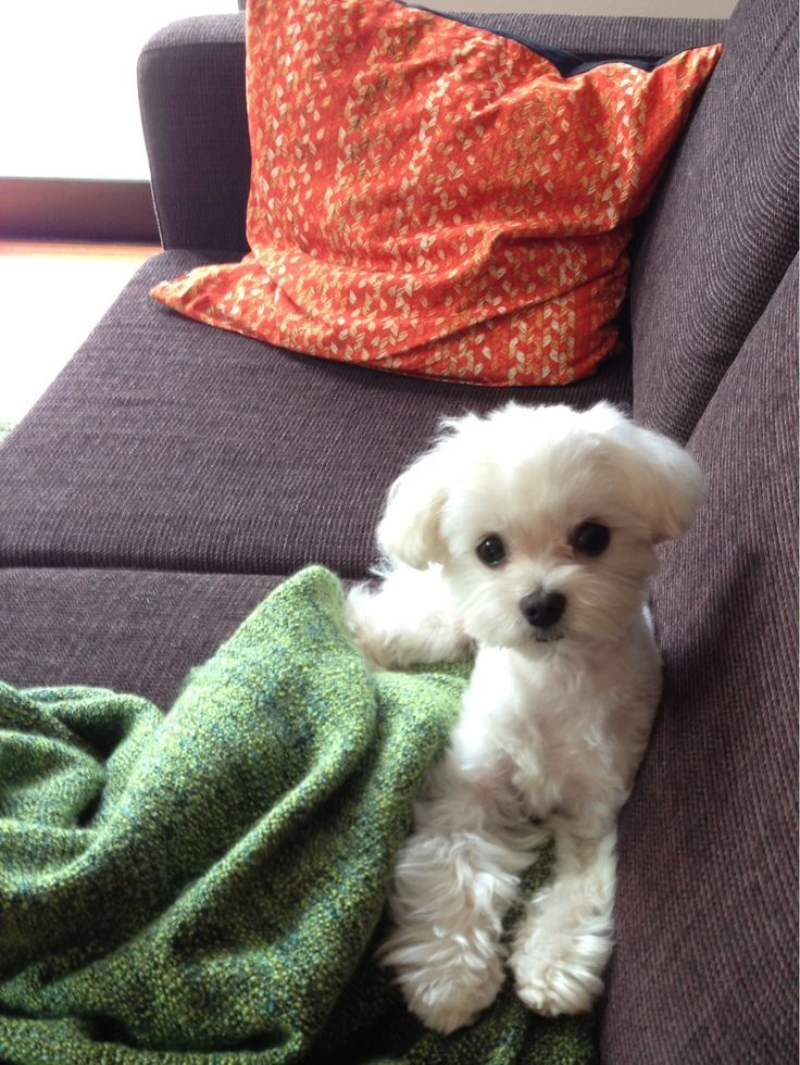 Successful Tips For New Puppy Owner Maltese Dogs Baby Dogs