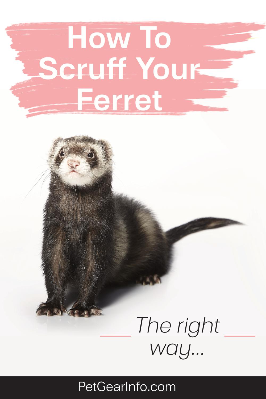 How To Scruff Your Ferret in 2020 | Ferret, Pet ferret ...