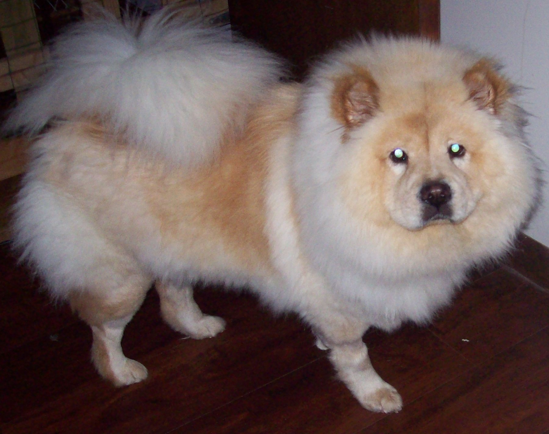 Chow Chow Dog For Adoption In Newfoundland Pa Adn 428154 On
