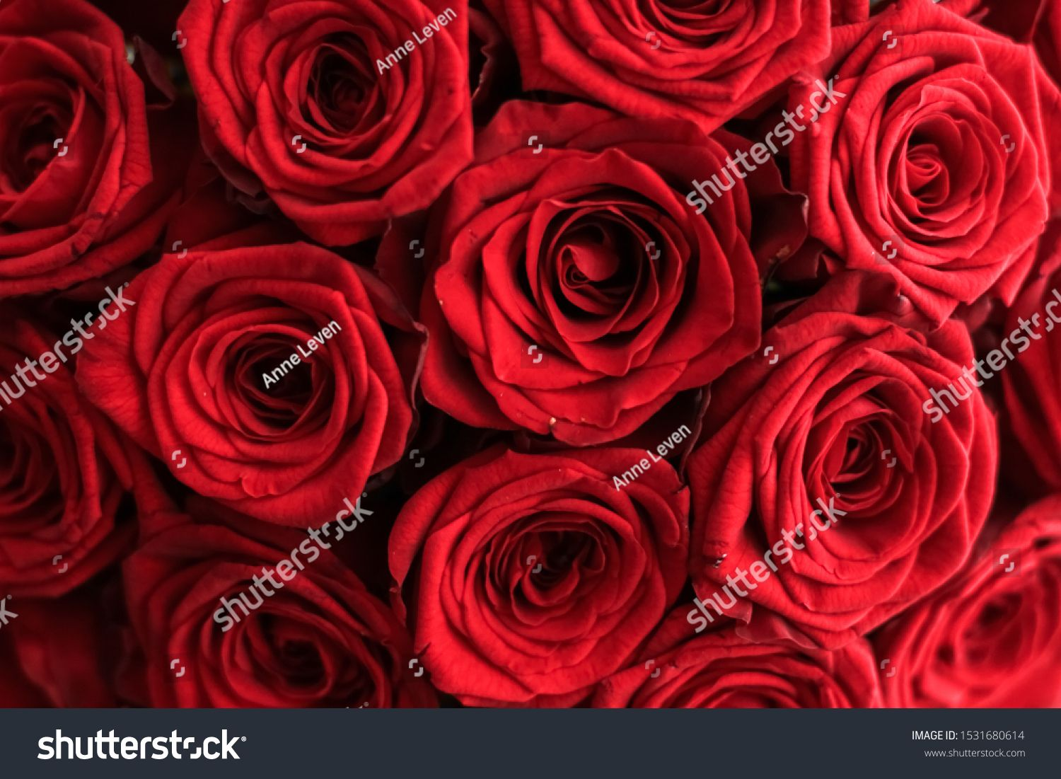 Blooming rose flower blossom and Valentines Day gift concept  Gourgeous luxury bouquet of red roses flowers in bloom as floral holiday background