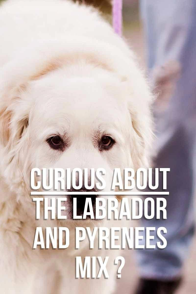 Curious about the lab and pyrenees mix mixed breed dog