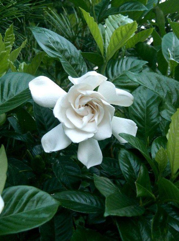 שיח ירוק עד רב שנתי בעל פרחים לבנים פשוטים ומלאים בעלי ריח נעים