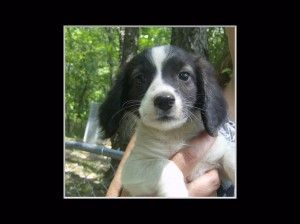 Candy Is An Adoptable Australian Shepherd Dog In Akron Oh Candy