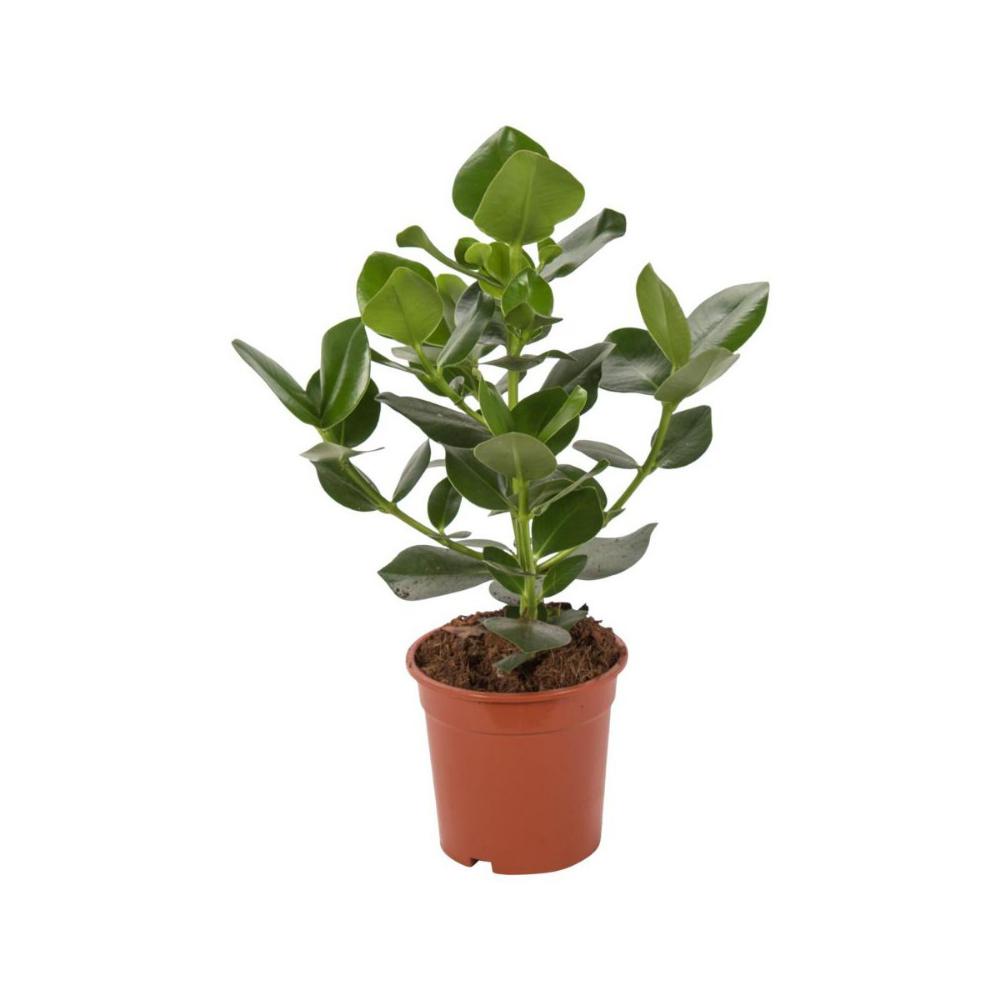 Kluzja 55 Cm Kwiaty Doniczkowe W Atrakcyjnej Cenie W Sklepach Leroy Merlin Planters Plants Planter Pots