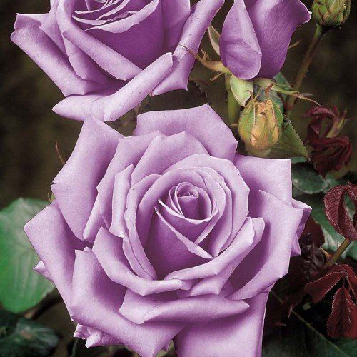 Long Stem Roses Are Widely Considered To Be The Most Popular Roses For All Occasions What Many People Think Of As Classic Lo Blue Moon Rose Hybrid Tea Roses Cottage Garden