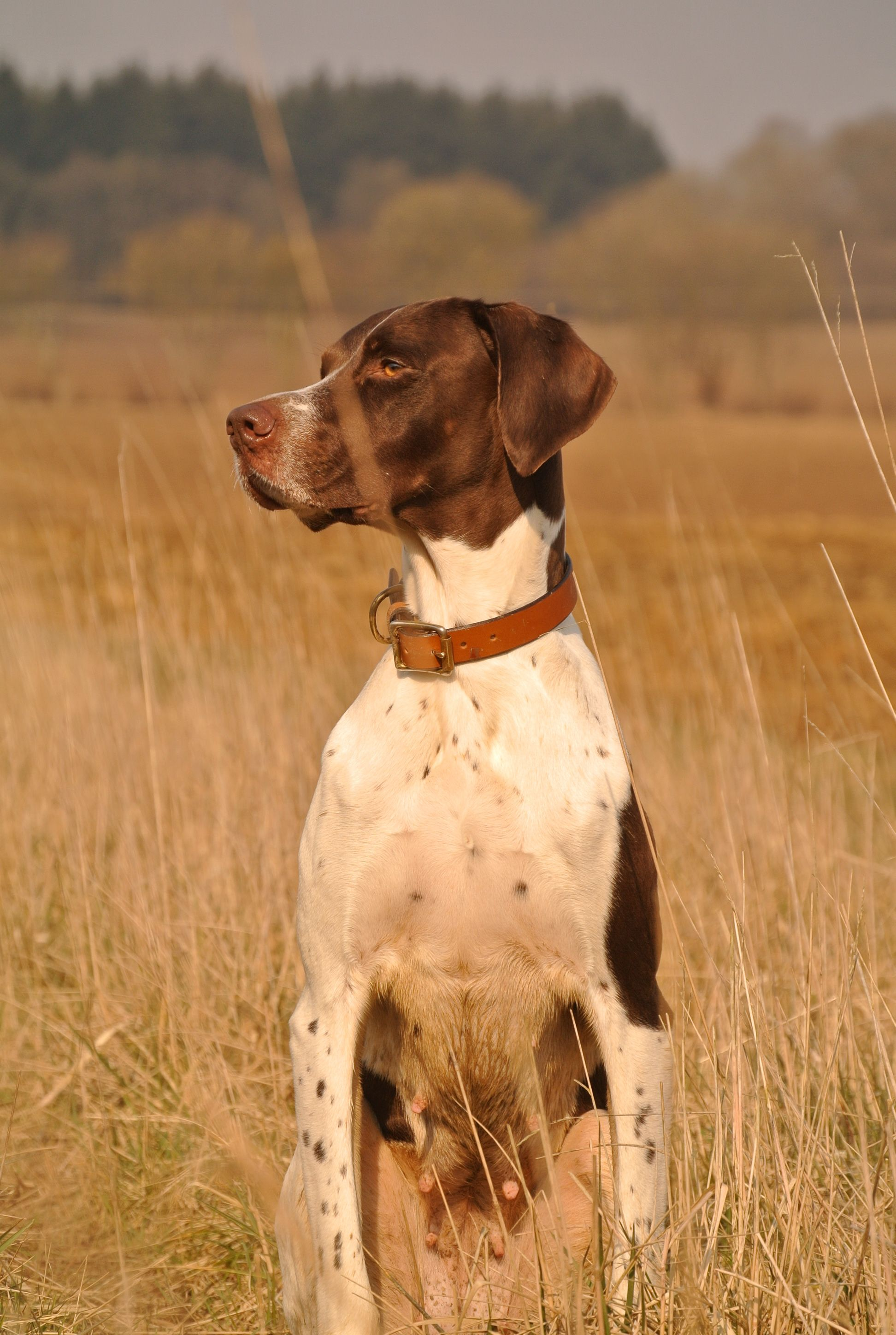 Pin by on English Pointer dog art portraits