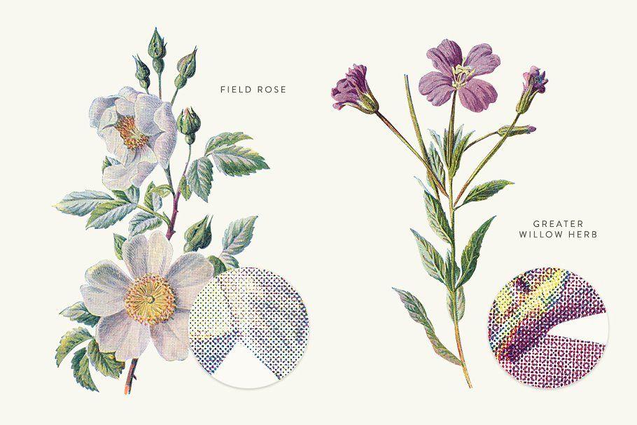 Illustration Oxalis Acetosella
