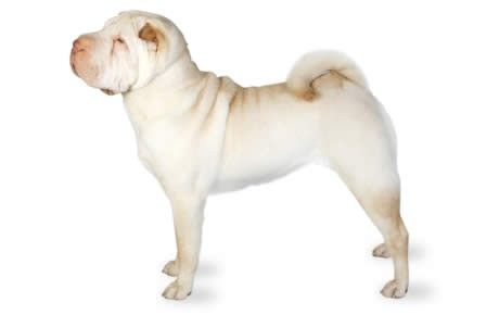 Chinese Shar-Pei information including pictures, training, behavior, and care of Chinese Shar-Peis and dog breed mixes.