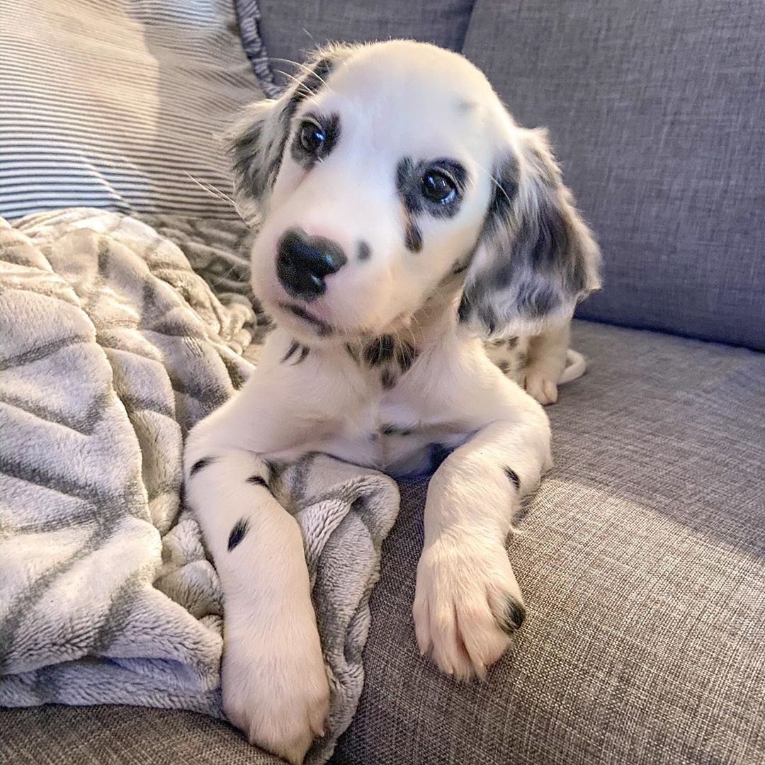First Day Mom Has To Go Back To Work Since Ive Been Home Not Sure How I Feel About It In 2020 Dalmatian Puppy Dog Breeds Puppies